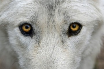 Beli ili crni vuk